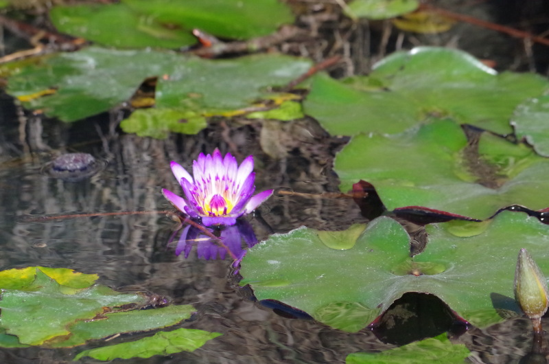 Hévíz-patak tündérrózsa